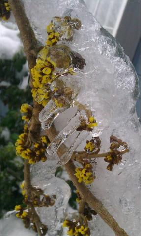 Frozen Witchhazel, Ice Storm 2012