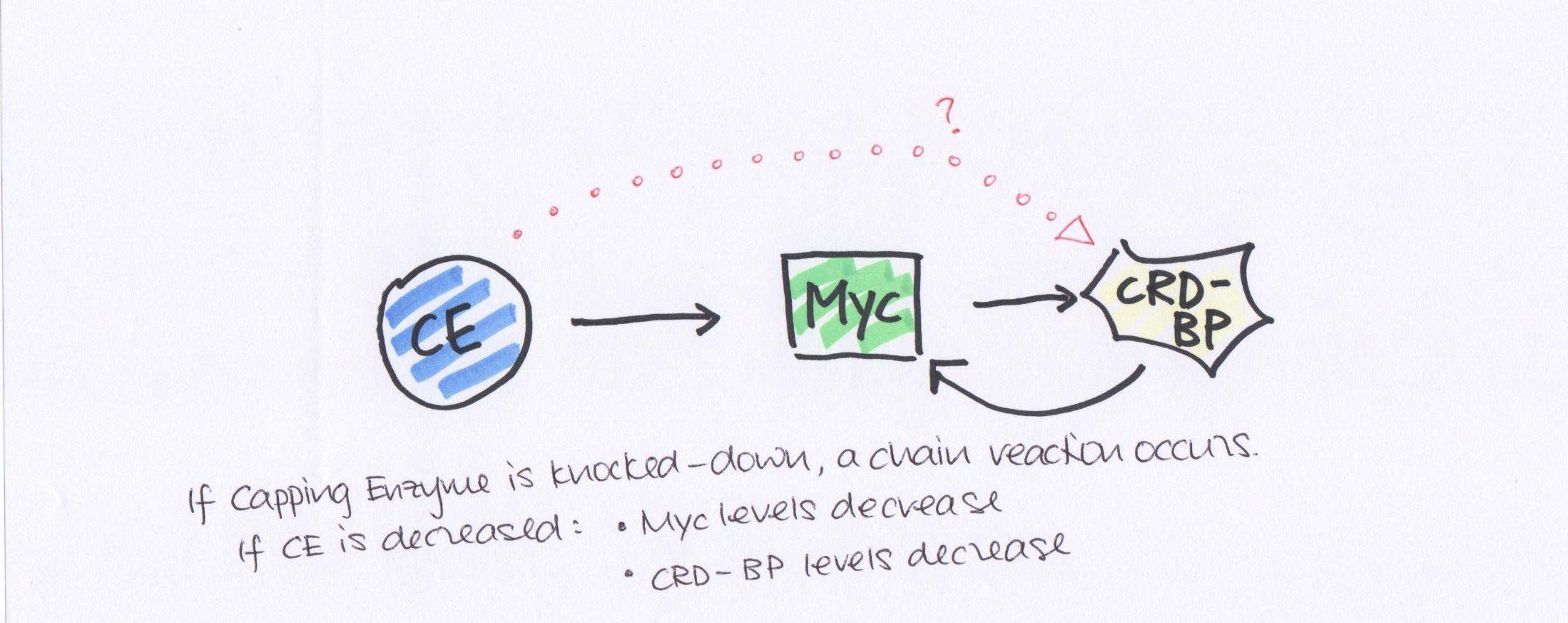 HD:Users:PisliakovaMaria:Desktop:CE myc crdbp.jpeg