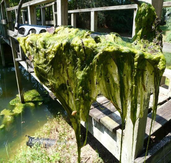 Image result for filamentous algae pithophora